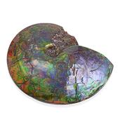 Canadian Ammolite Rare Specimen AAA Grade weight 7.75 Lbs
